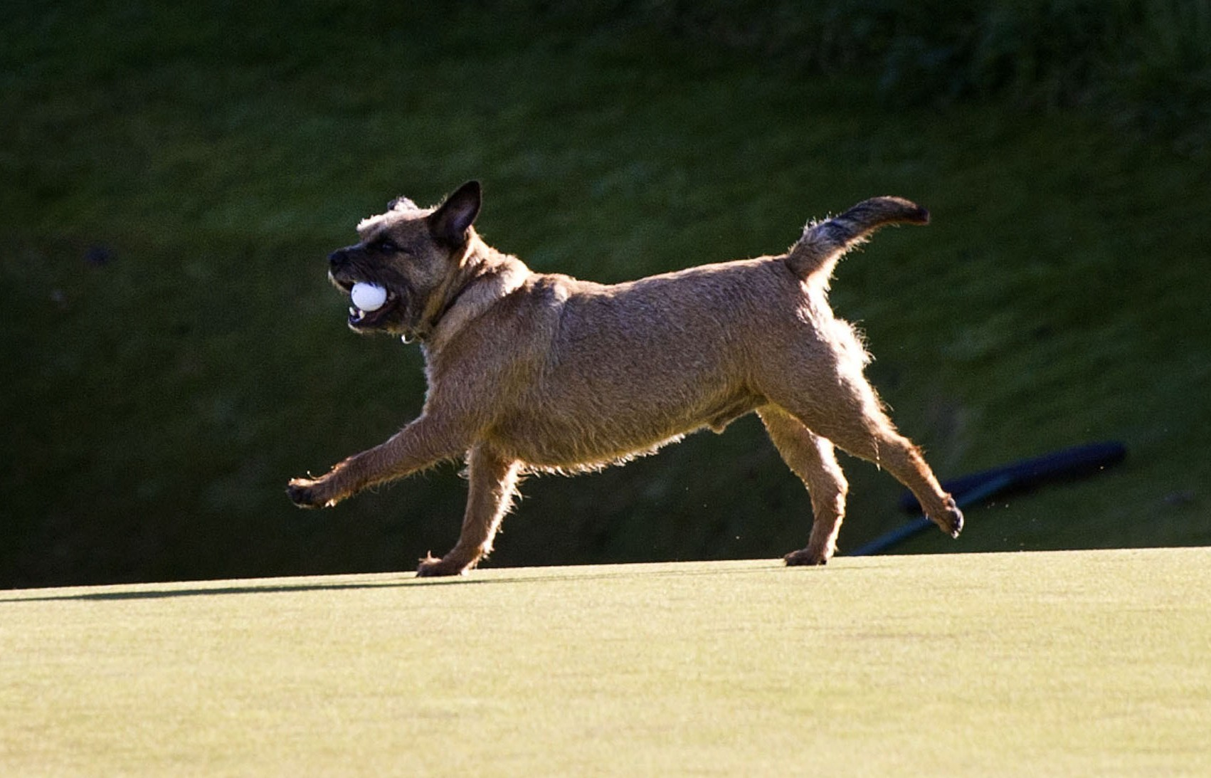 Those who attempt to mix golf and dogs on council-owned courses in Dundee are facing a new ban.
