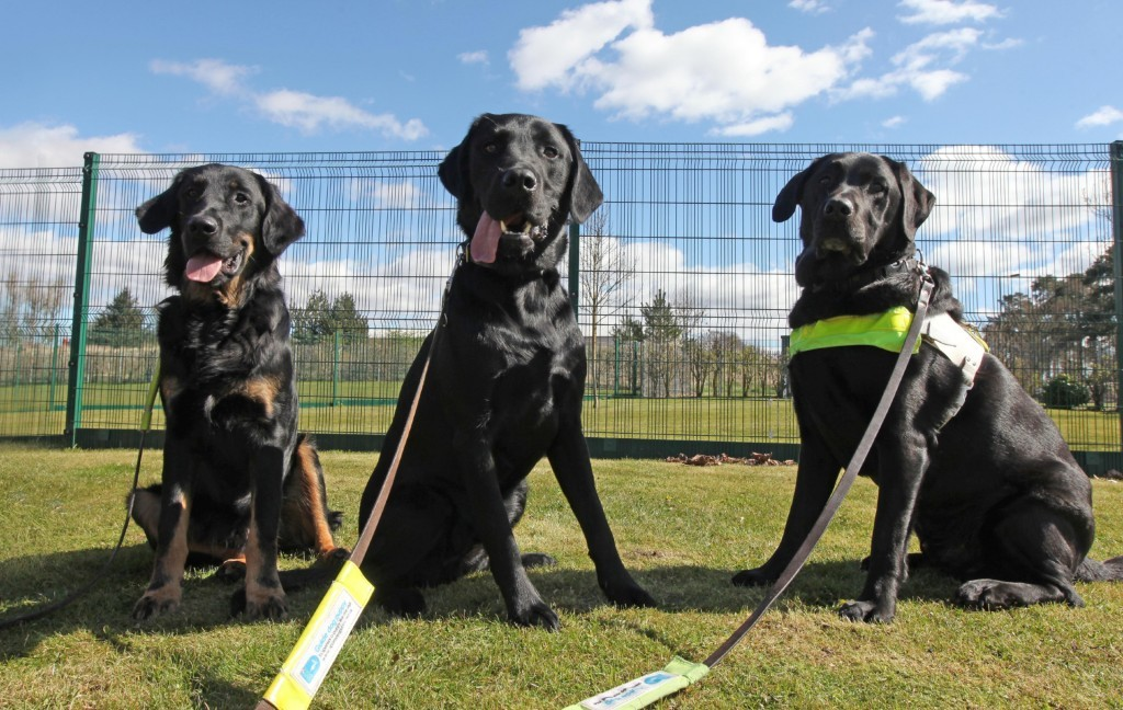 Guide dogs at the Forfar training centre.
