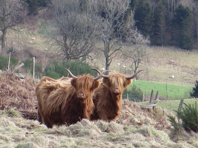 Highland cattle have traditionally been sold in Oban