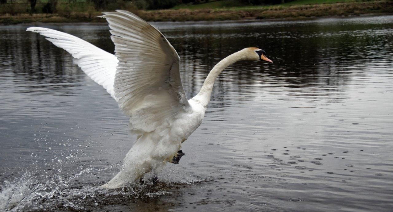 The swan being released on the River Taqy