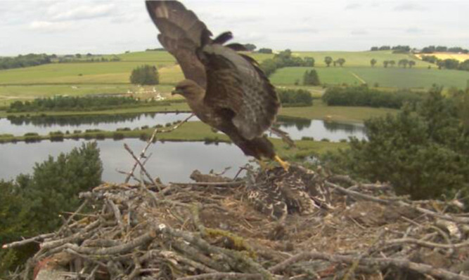 The buzzard pounces on the osprey chick, knocking it out of the nest.