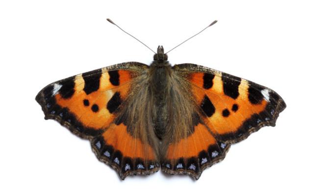 Small Tortoiseshell butterfly.