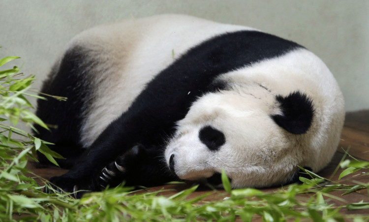 Keepers at Edinburgh Zoo believe that Tian Tian may be pregnant.