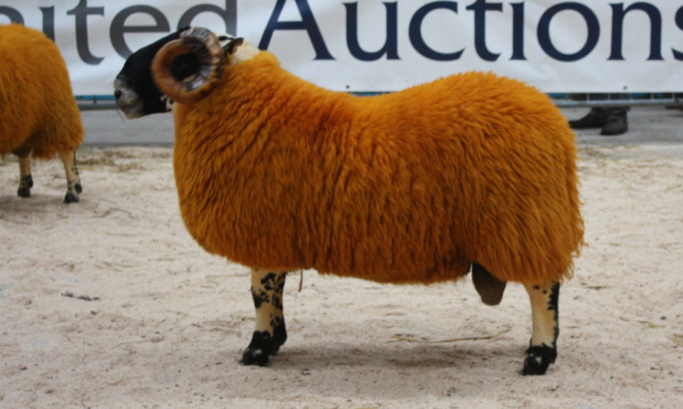 The £6,500 North-type shearling from Matthew Hamilton, Woolfords.