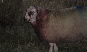 One of the injured sheep.