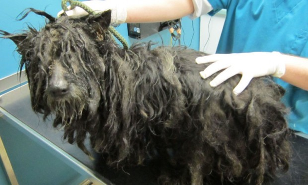 The Scottie was put down to end its suffering.
