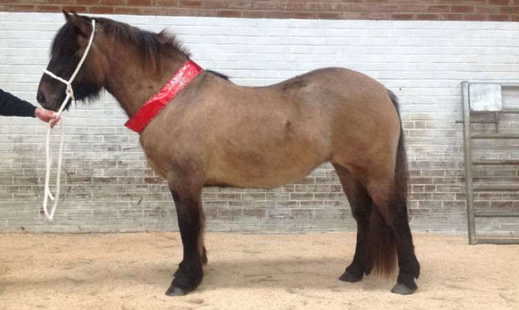 Maggie May II of Turin Hill took the Highland Pony championship at Tayside for JPG Cameron