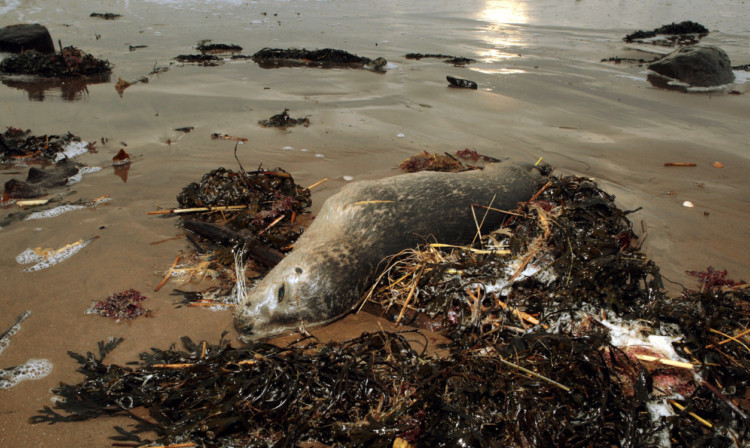 A seal pup washed up on Monifieth beach during the storms two weeks ago.