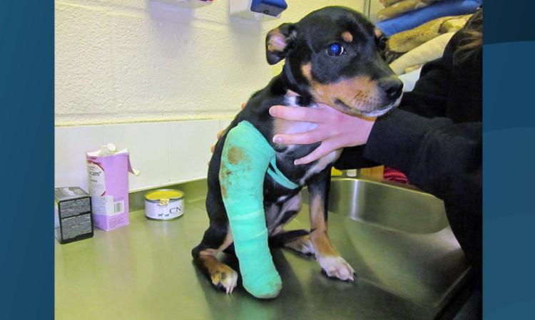 Puppy Cheeka had her leg broken after her owner threw her down some stairs.
