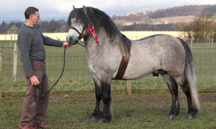 Highland Pony Champion, Whitefield Prince Platinum