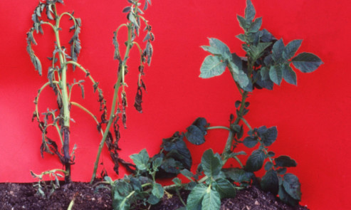 The stuff of nightmares: blackleg is a perennial problem for potato growers.