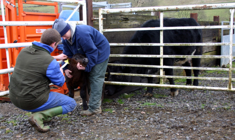QMS and the NFUS said that where possible cows and calves should be securely separated when young calves are being handled. Johnny Mackey and his wife Susie are seen tagging a calf on their farm near Blairgowrie.