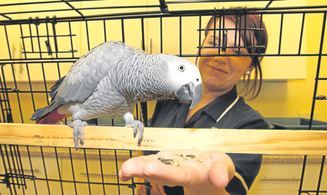 The African grey parrot is being looked after by Becca Cunningham.