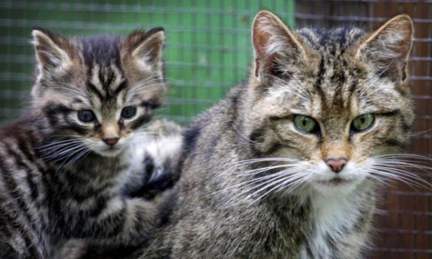 A rare Scottish wildcat kitten makes an appearance with his mother at Wildwood Discovery Park, near Canterbury, Kent .