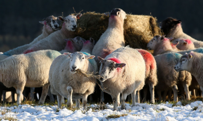Sheep belonging to farmer Donald Cameron, from Middleton of Dalrulzion farm near Glenshee, eating the first of the winter feed.