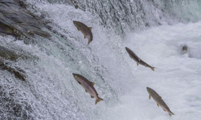 Populations of wild Atlantic salmon at sea are in decline.