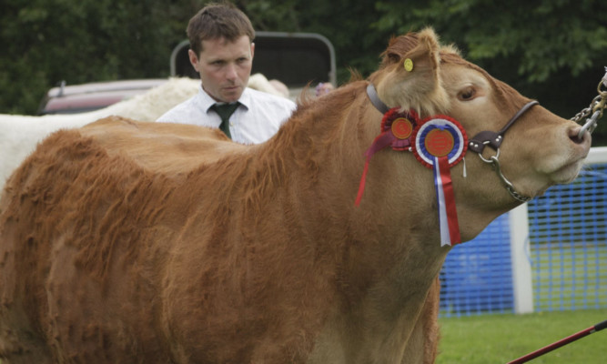 Neil McGowan, judging at Braco Show, with the Limousin champion.