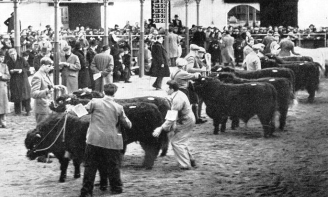 Judging Shorthorns in the new covered rings in the 1950s, set up after the winter of 1947 disrupted the outdoor judging in Caledonian Road.