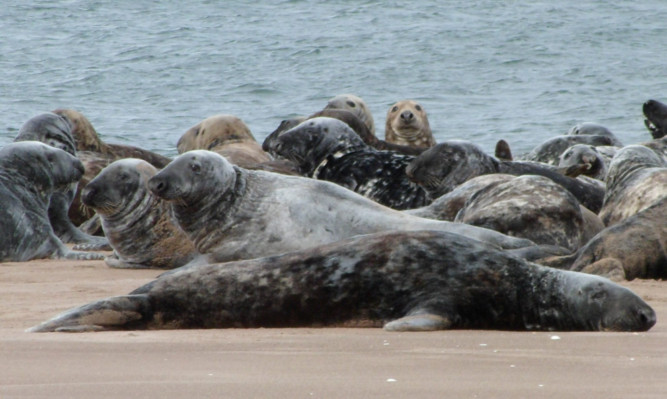 Seals at Tentsmuir.