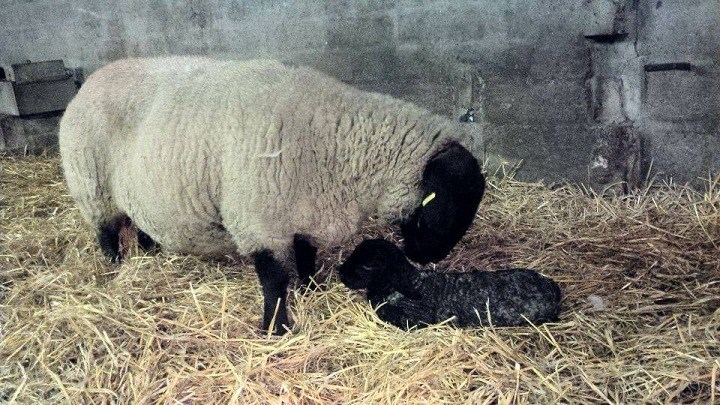 02/01/15 Sunday Post, Chris Austin Tain  Happy new year, though you'd like to see one of the earliest lambs of 2015 born at 1.50am near Tain.