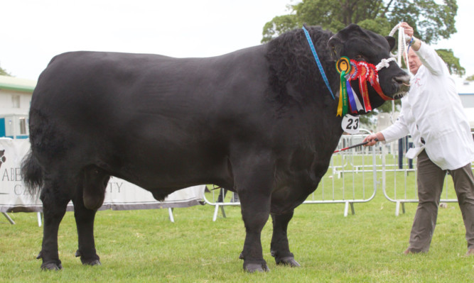 The interbreed champion, the Aberdeen-Angus from Alastair and Graeme Fraser of Forfar