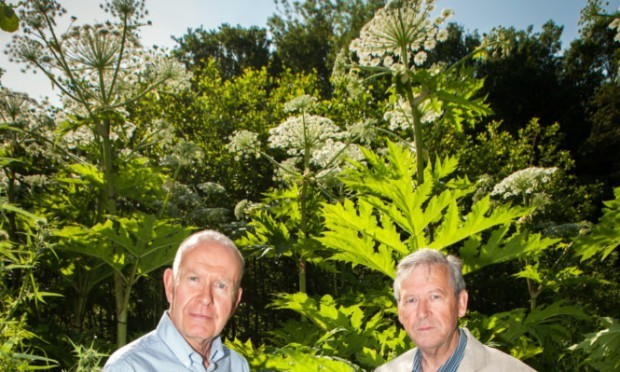 Councillor Willie Wilson and resident Fred Mulherron beside some of the hogweed at land near Craigie Burn, off Low Road.