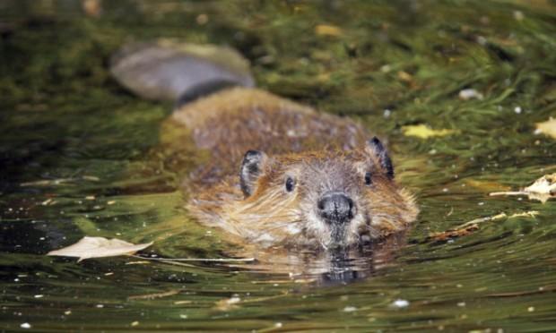 Cute swimming beaver in murky lake water