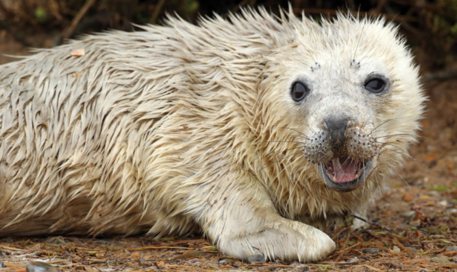 A grey seal pup