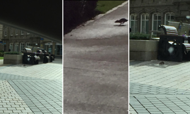 A member of the public caught the rats on camera at Dundee's Meadowside.