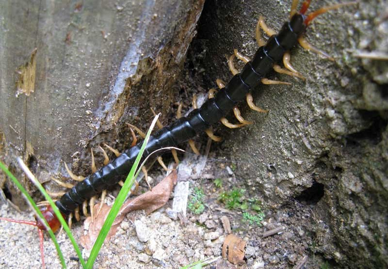 Poisonous centipede is driving Deep Sea World staff batty - The Courier