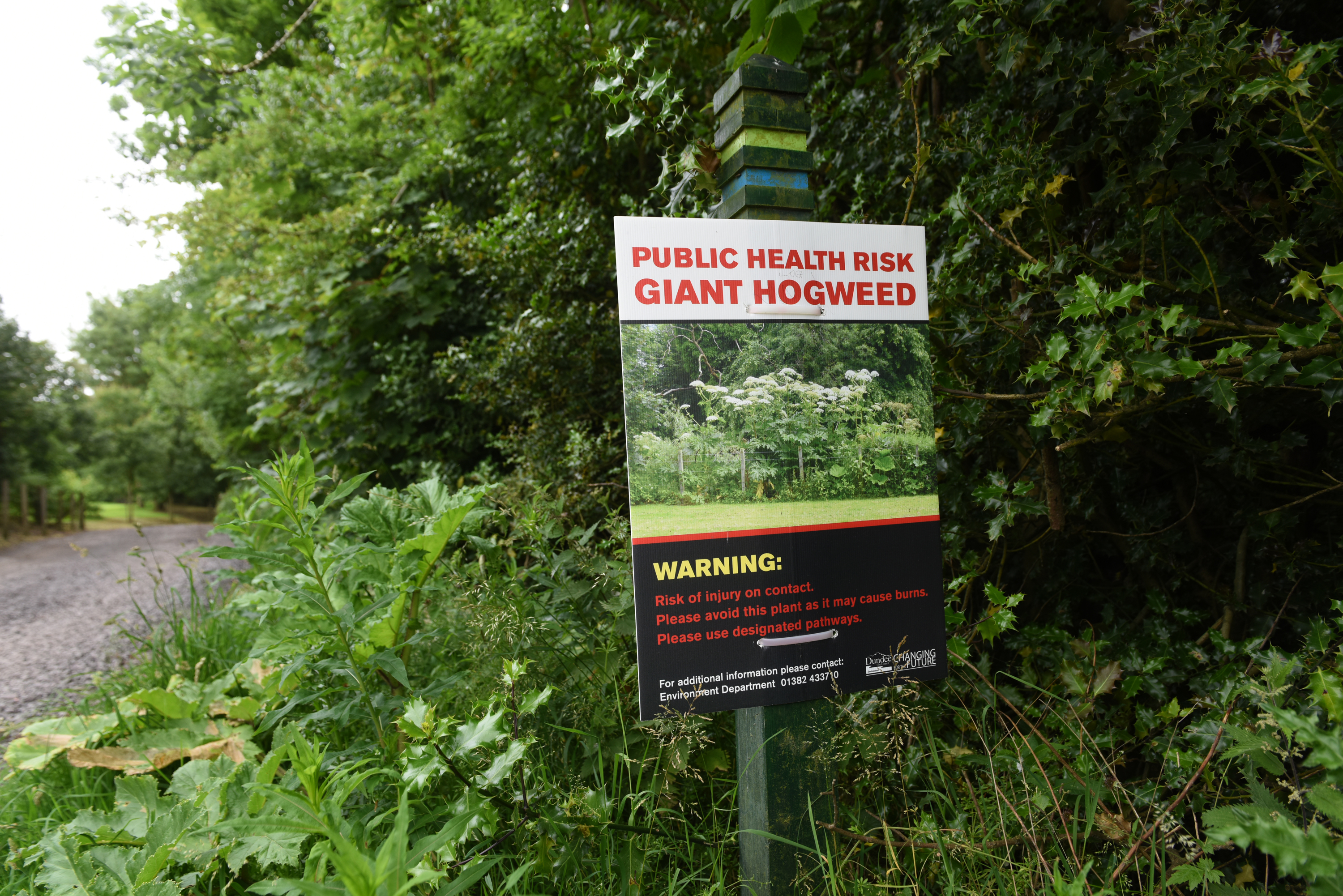 Giant hogweed on the Monifieth path network beside the Dighty Burn.