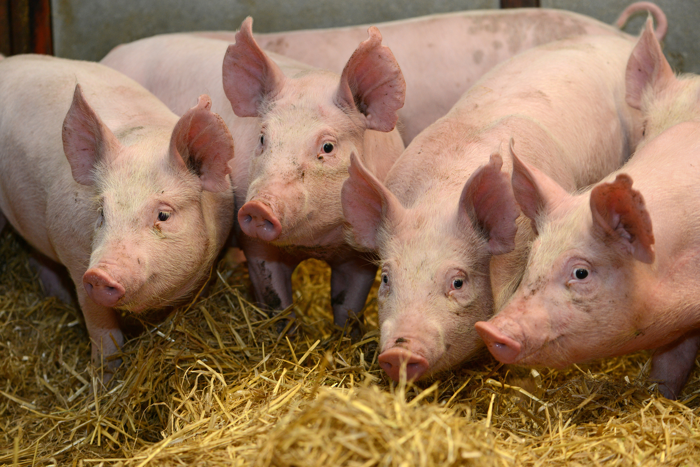 More than five million pigs have been entered onto a database introduced to record antibiotic usage