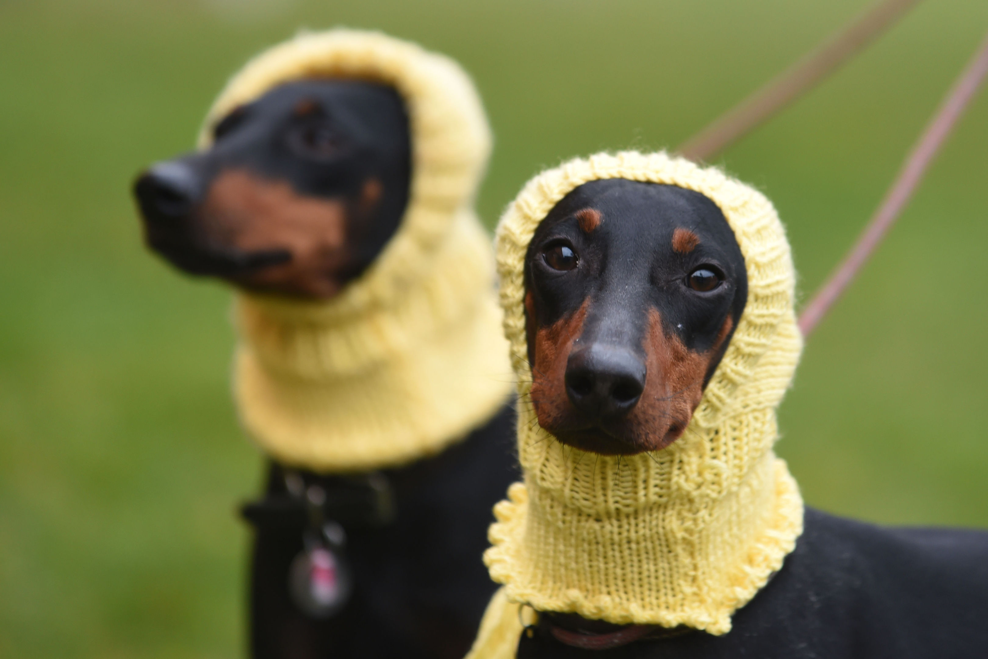 Terriers Betty (left) and Mable (right) competed at Crufts