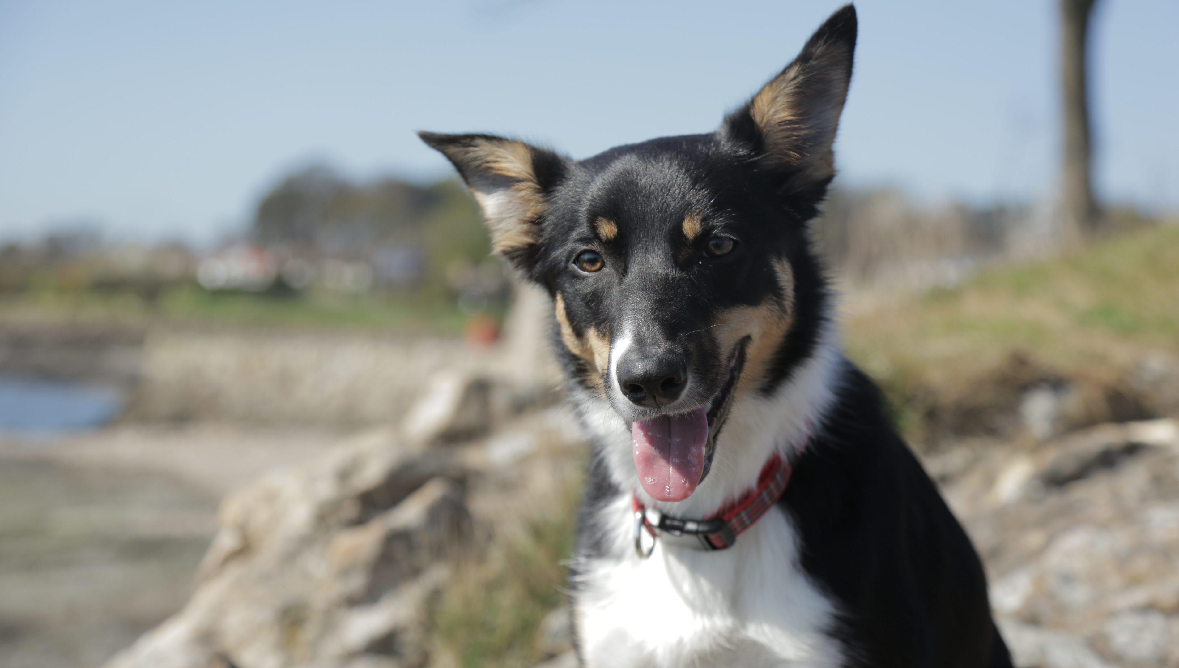 Manny, the Border Terrier bidding to become Scotlands ambassadog.