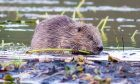 Beavers in Scotland poll