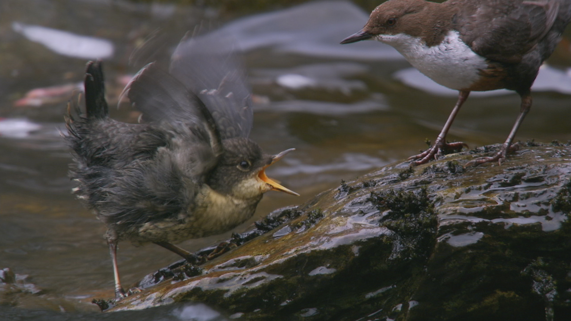Dippers on the River Braan, which will feature in Highlands – Scotland's Wild Heart.