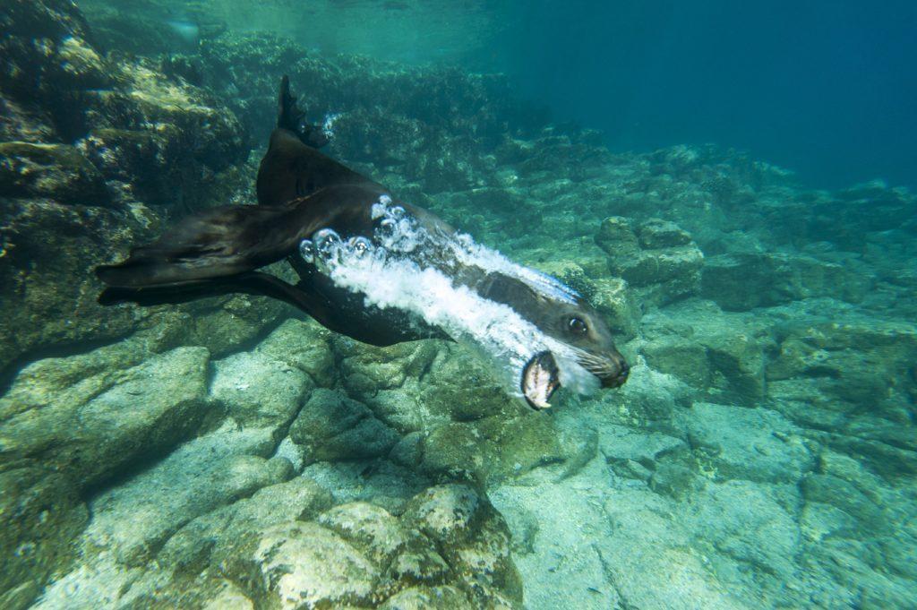 California Sea Lion swimming, Los Islotes, Baja Peninsula, Mexico.