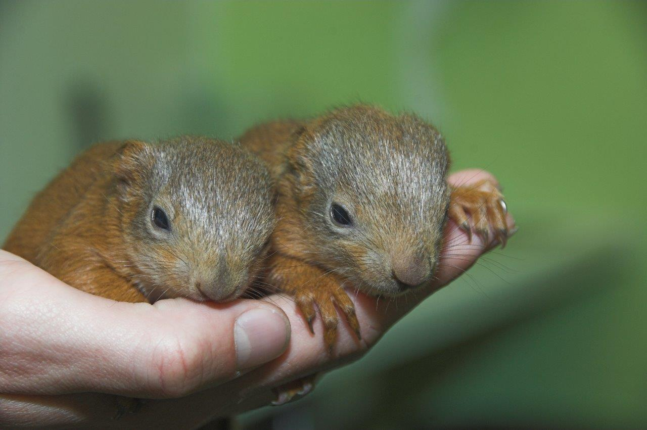 The tiny squirrels are recovering at the Scottish SPCA rescue centre after being found in Dundee.
