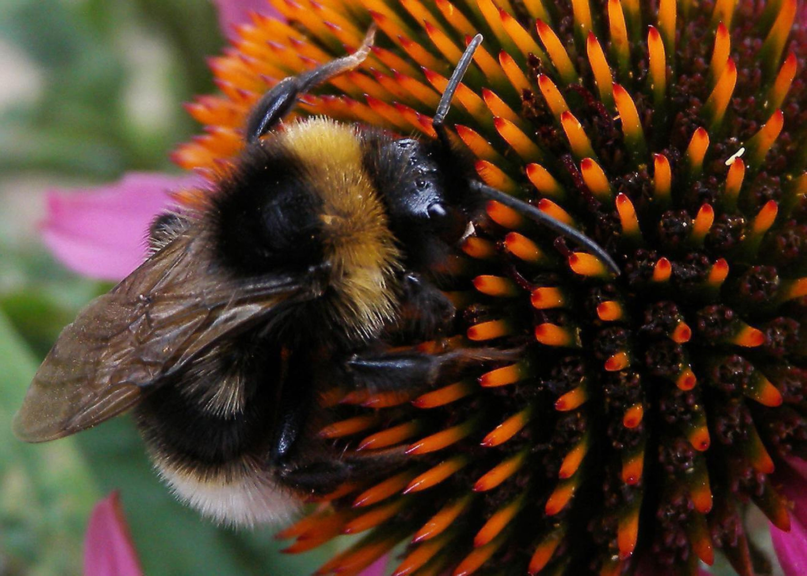 A bumblebee at work. Researchers now believe certain pesticides are stunting their ability to pollinate.