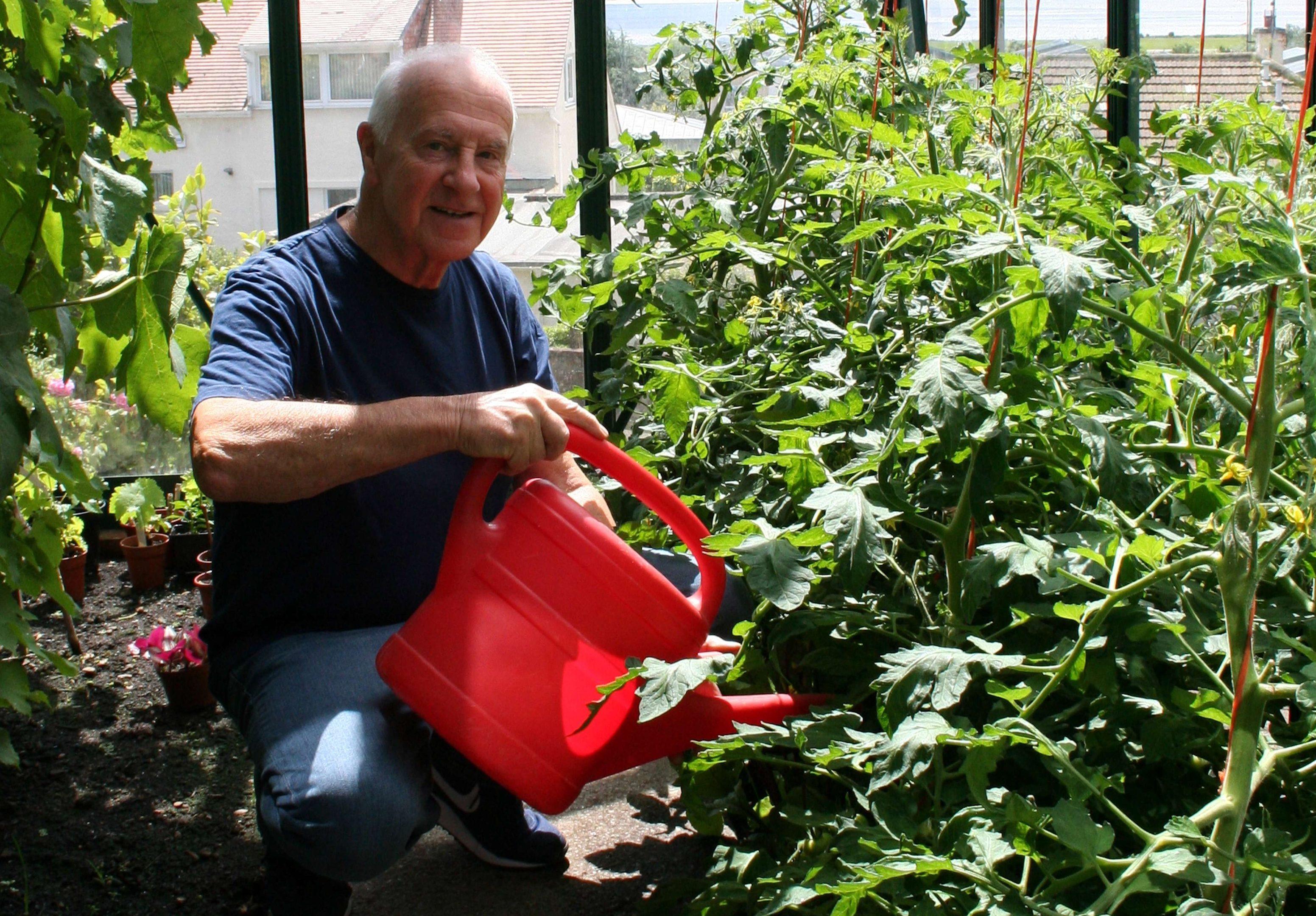 Feeding the tomatoes