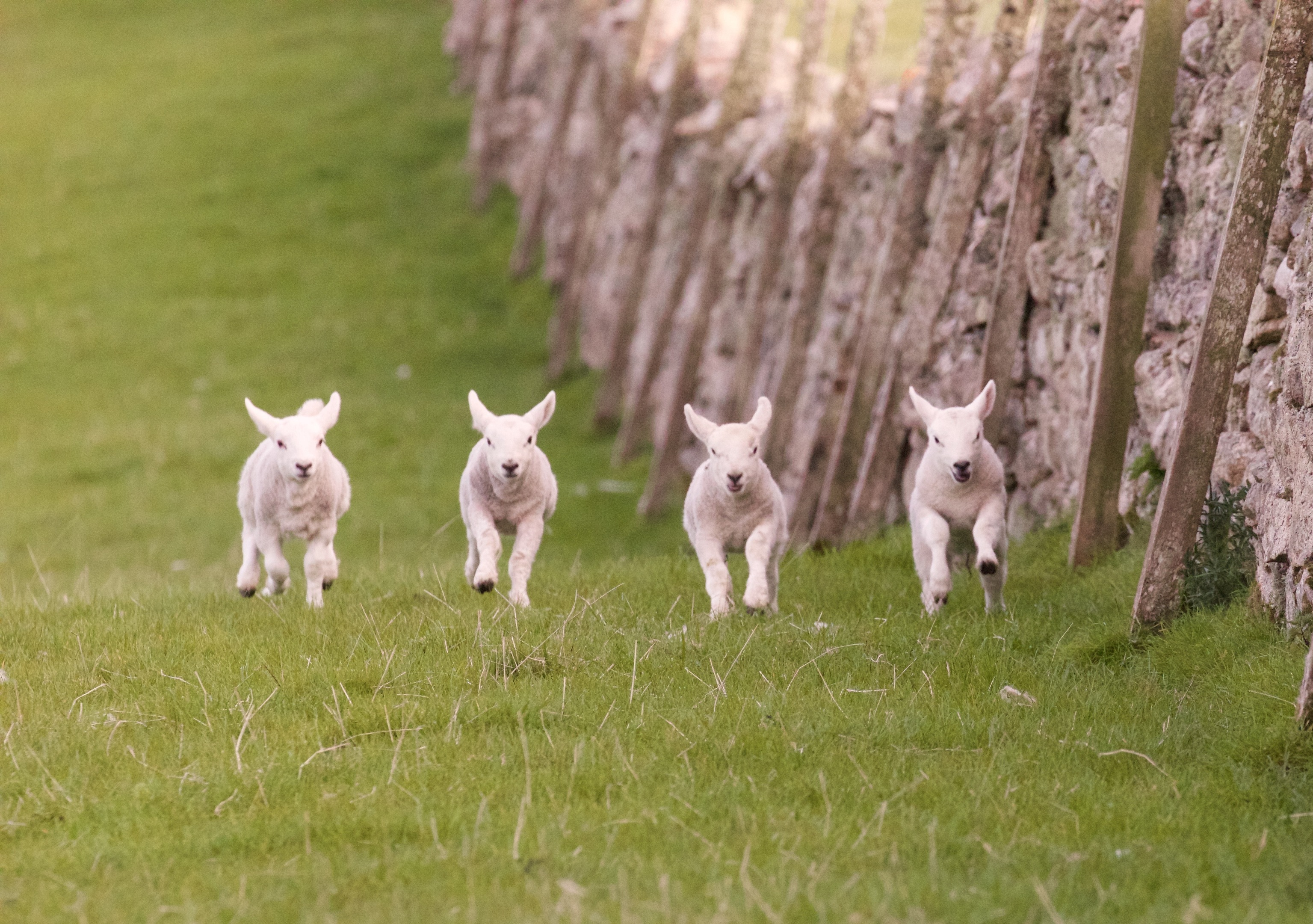 Watching lambs at play is one of the most rewarding aspects of farming