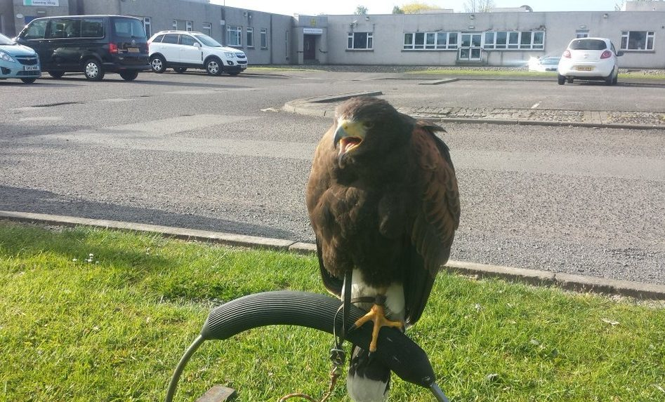 Hawk flown in to combat school's seagull problem - The Courier