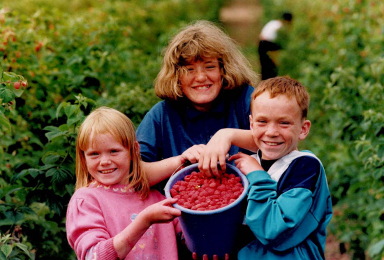 Picking raspberries at Westhill, Inchture, in July 1992.