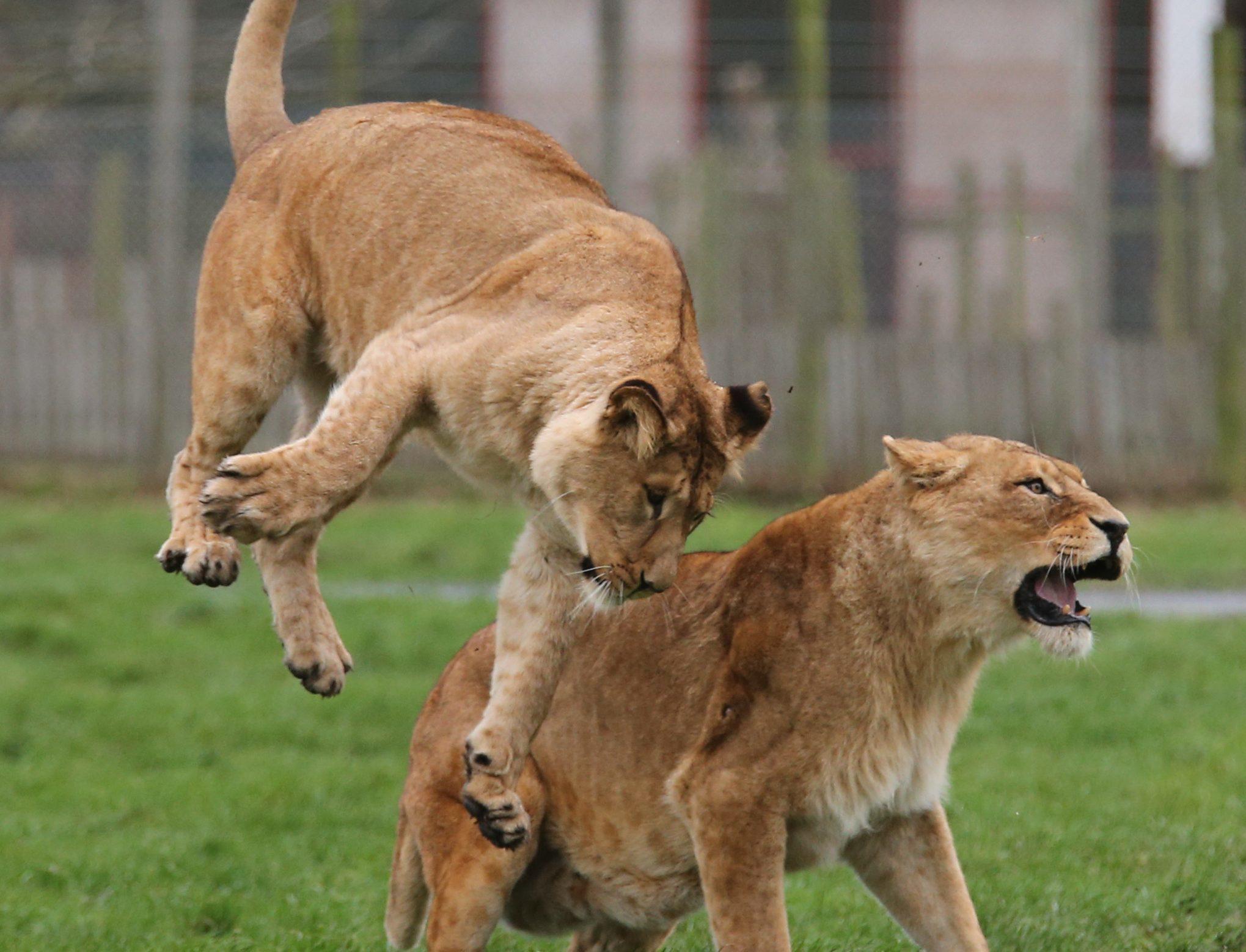 African lionesses at Blair Drummond Safari Park