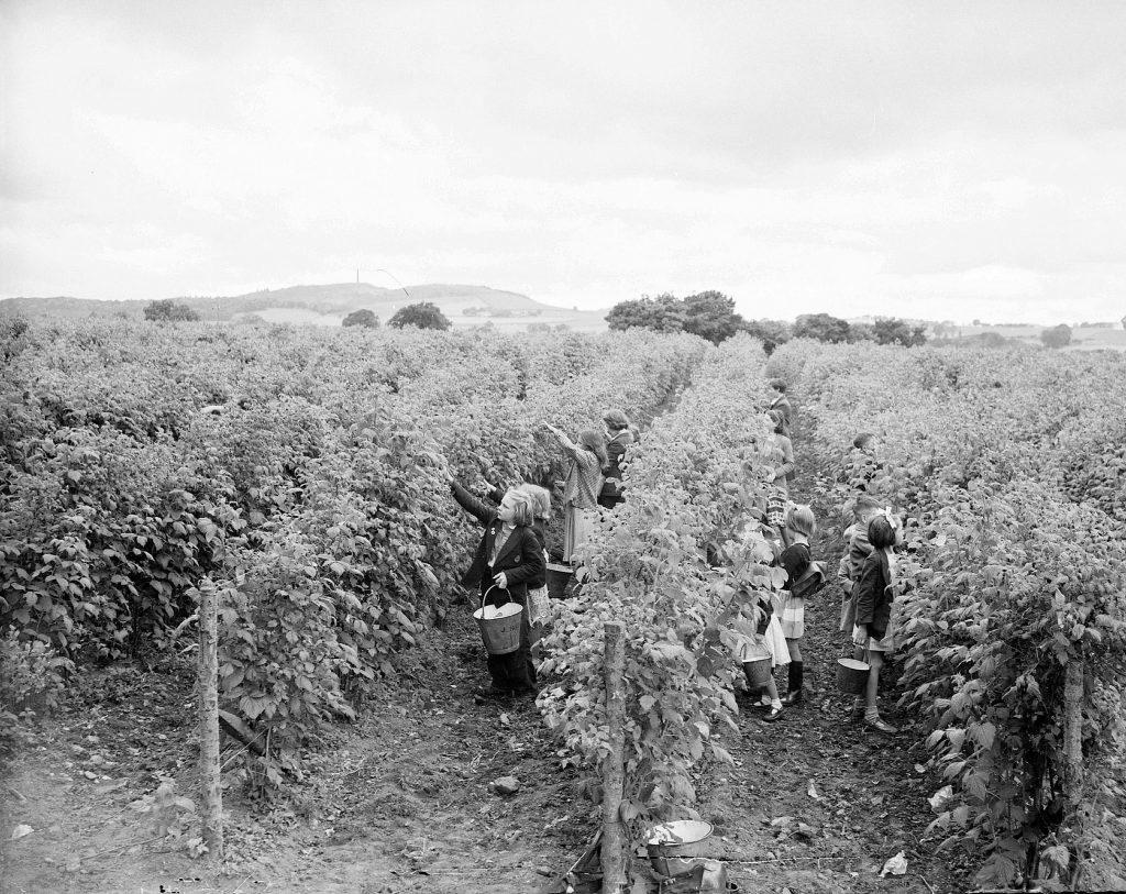 Children berry-picking at Gilliesfaulds Fruit Farm, near Cupar in 1954.