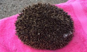 An appeal has been issued to help the hedgehogs.