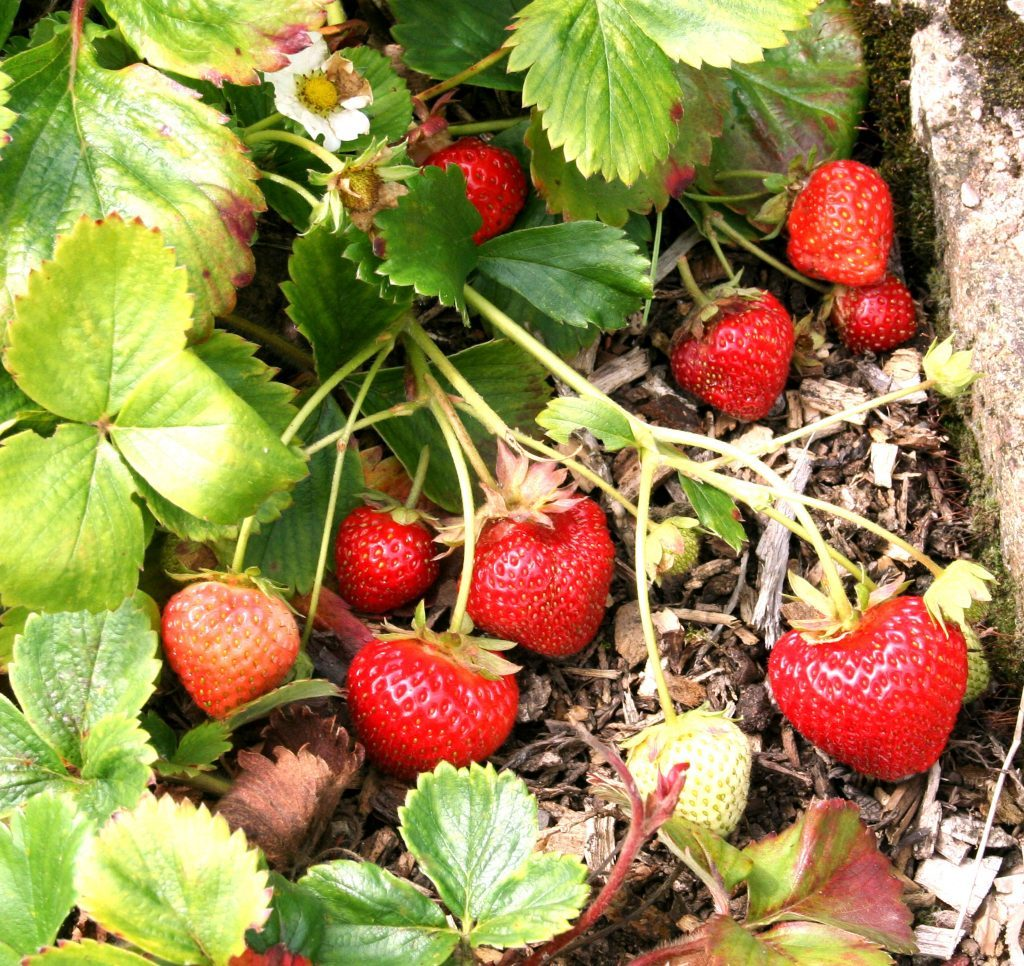 Perpetual strawberry Flamenco at end of August