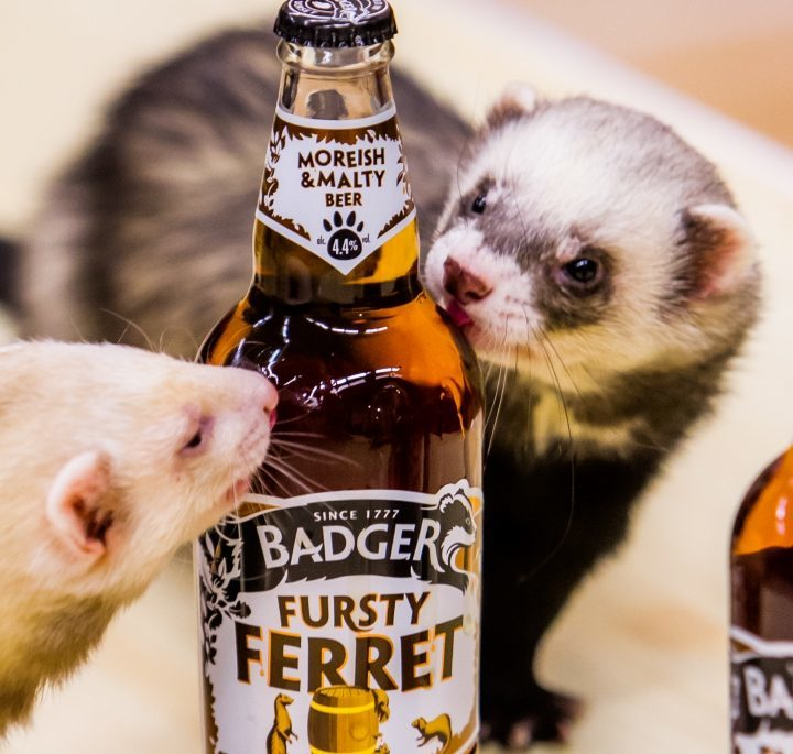 Thirsty ferrets at Ferret Fun Day in Buckhaven Community Hall.