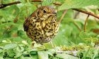 The thrush Jim Crumley nursed back to health after it collided with his french windows.