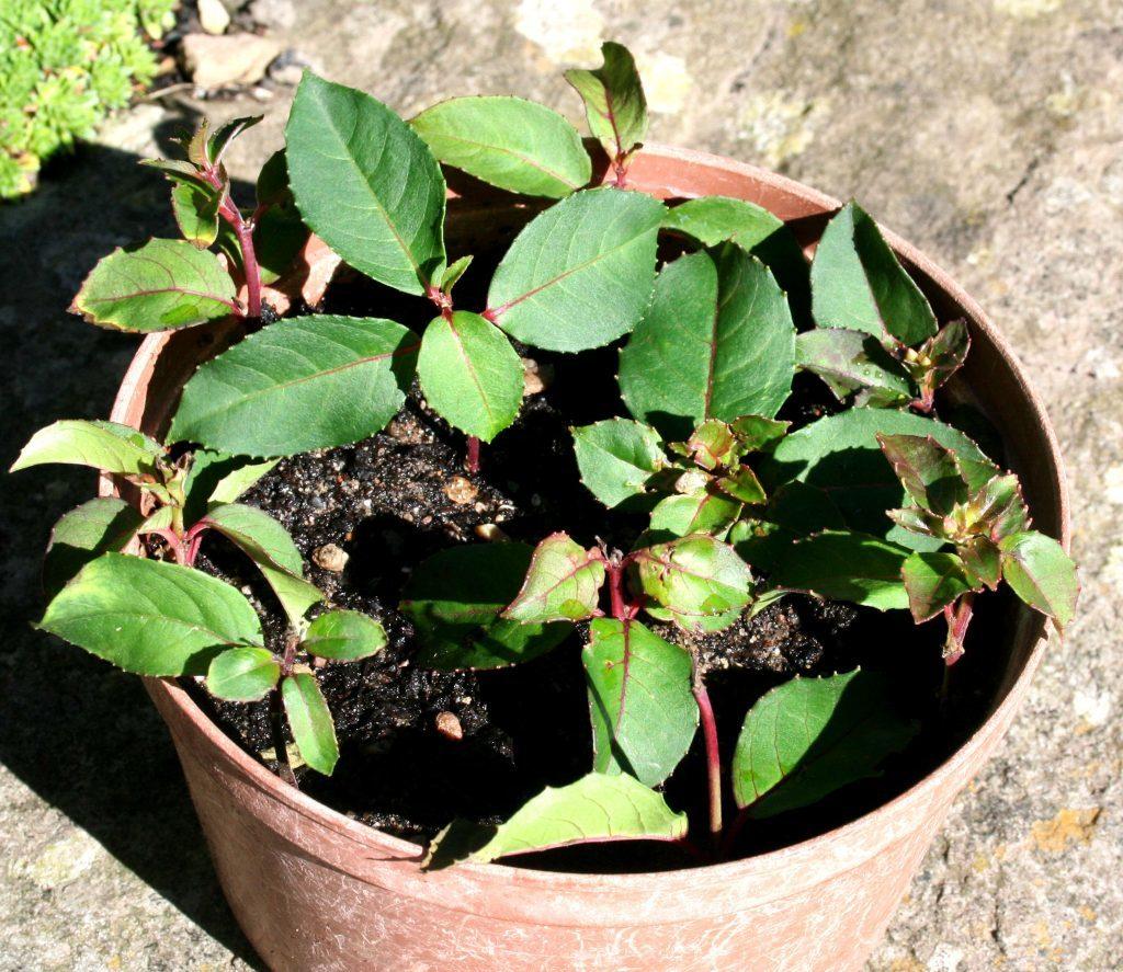 Fuchsia cuttings in a pot
